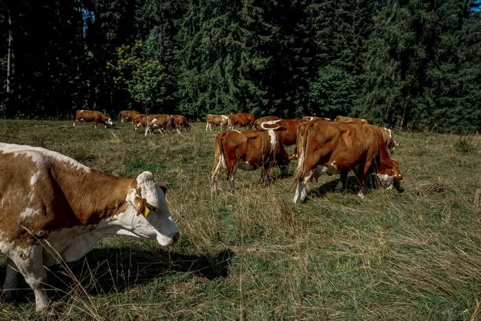 mucche al pascolo in valsugana